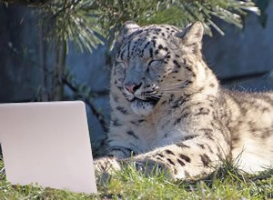 snow leopard in front of laptop