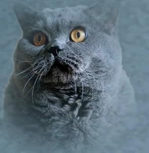 Tempest Amanda Cadabra grey cat with yellow eyes