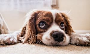 Cute dog looking up with sad eyes