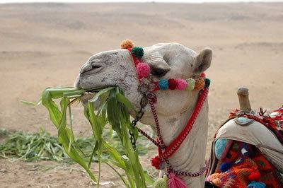 Camel eating greenery in the desert