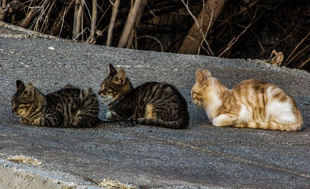 Three cats sitting one behind the other. Two tabbies and a gingers and white striped cat at the back