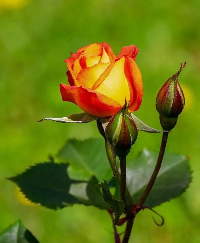 orange rose with deeper orange edges to say thank you