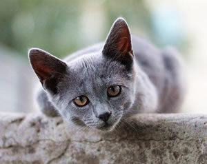 Grey cat leaning forward over wall with questioning look on its face: what?