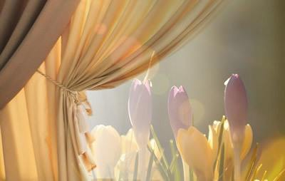 Golden curtain on left pulled aside to show crocuses in morning sunlight